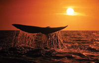 Whale watching at sunset, South Africa