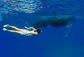 Premium whale swimming