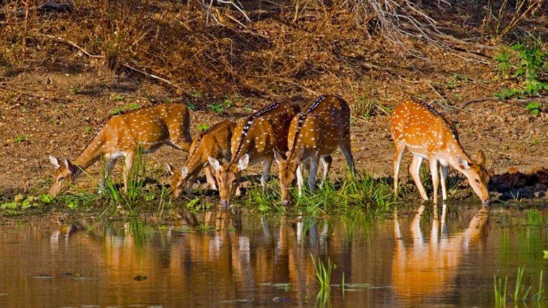 Sspotted-deer-bardia-nepal.jpg