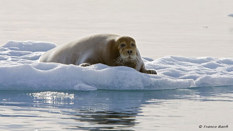bearded-seal-spitsbergen-norway.jpg