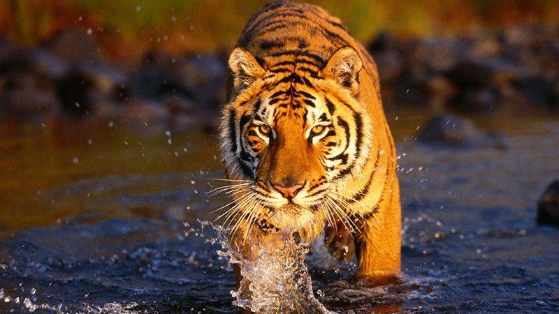 bengal-tiger-bardia-nepal.jpg