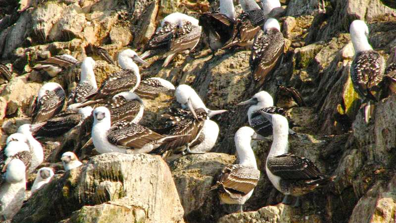 birds-ballesta-islands-peru.jpg