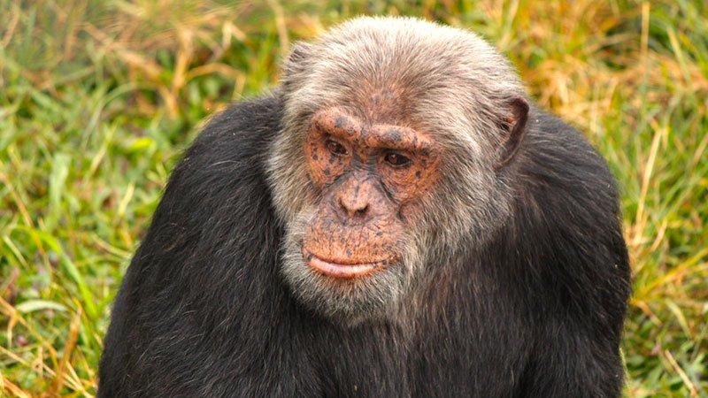chimpanzee-uganda.jpg