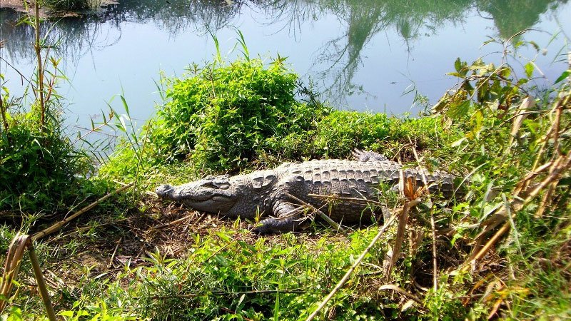 Crocodile in Chitwan National Park, Nepal