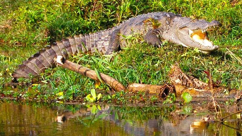 crocodile-chitwan-nepal.jpg