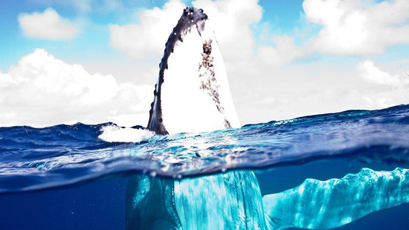 curious-humpback-whale-tonga.jpg