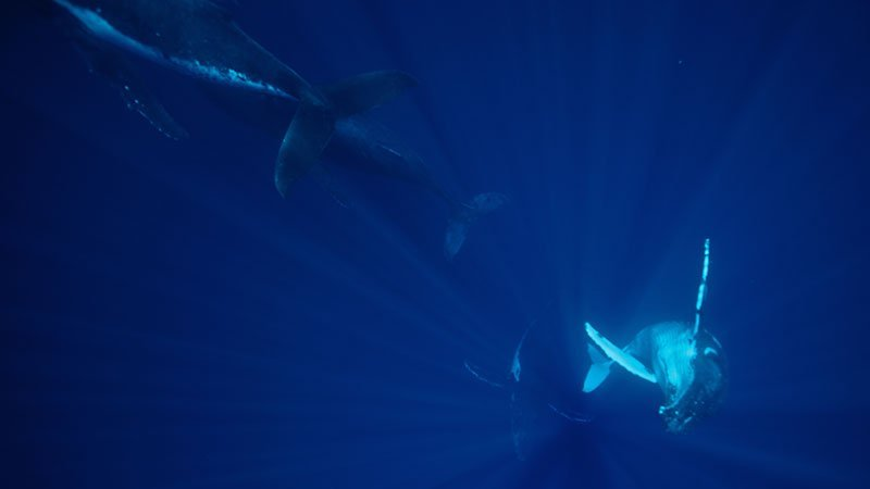 diving-with-humpback-whales-tonga.jpg