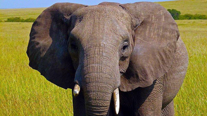 elephant-masai-mara-kenya.jpg