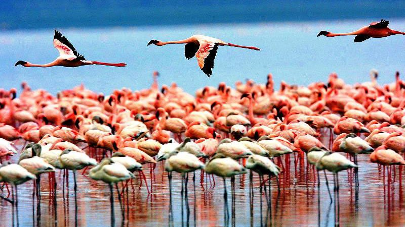 flamingoes-kenya.jpg