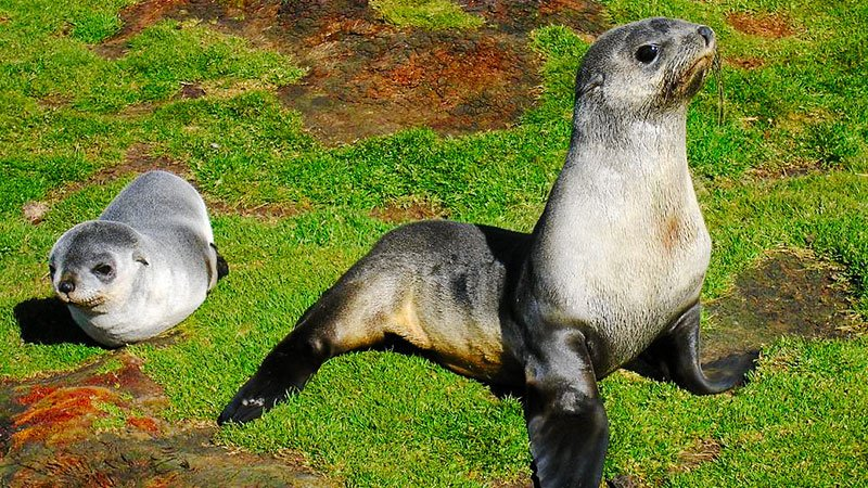fur-seal-pups-antarctic.jpg