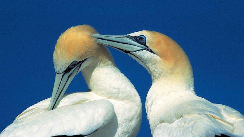 gannets-arctic.jpg
