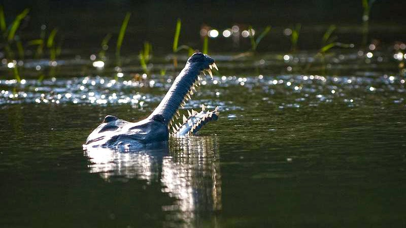 Gharial crocodile, Chitwan National Park, Nepal