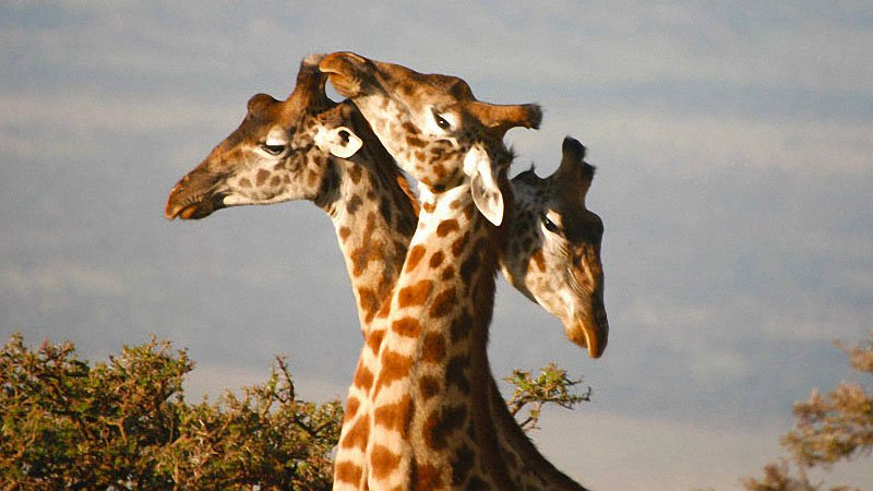 giraffes-masai-mara-kenya.jpg