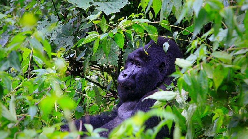 gorilla-uganda.jpg