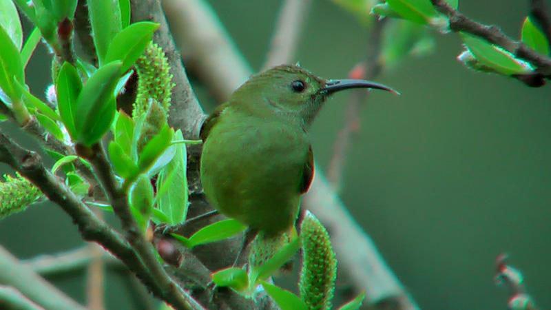 green-tailed-sunbird-bhutan.jpg
