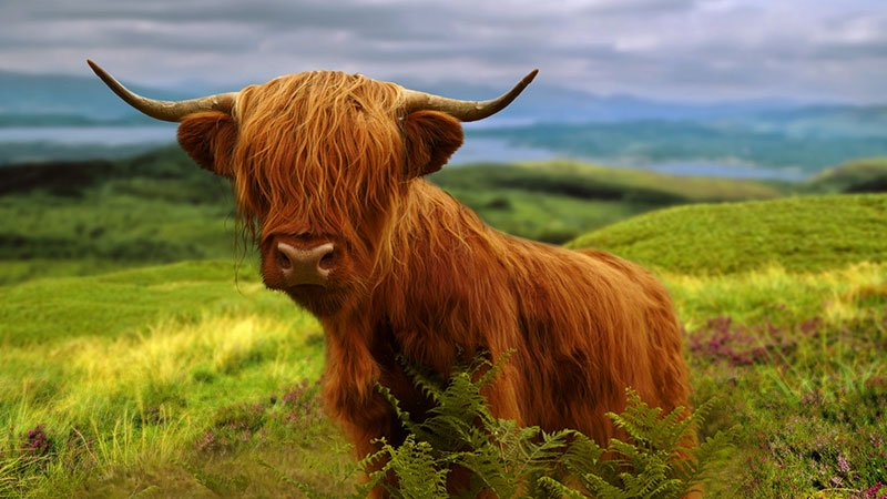 highland-cattle-scotland.jpg
