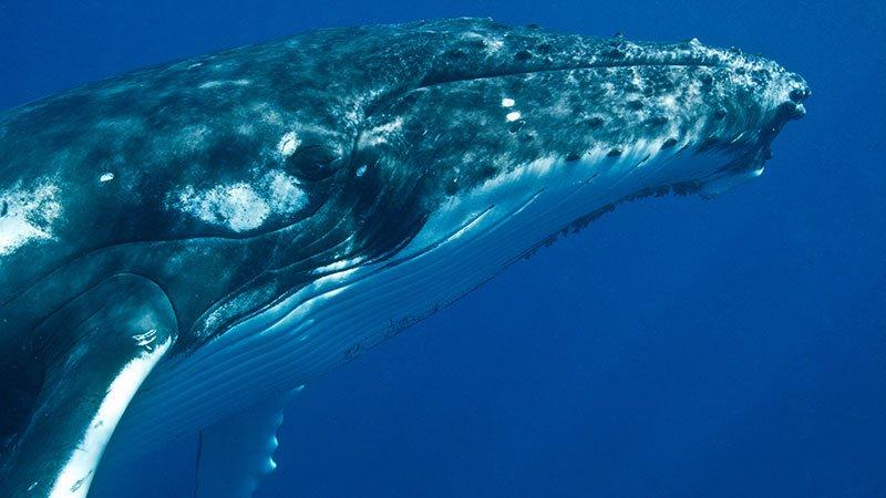 humpback-whale-tonga.jpg