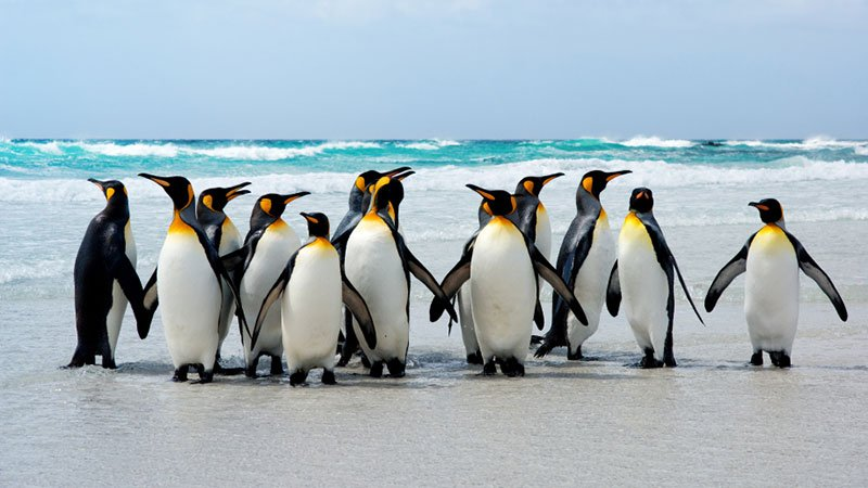 king-penguins-falkland-antarctic.jpg