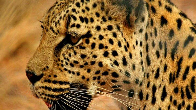 leopard-tanzania.jpg