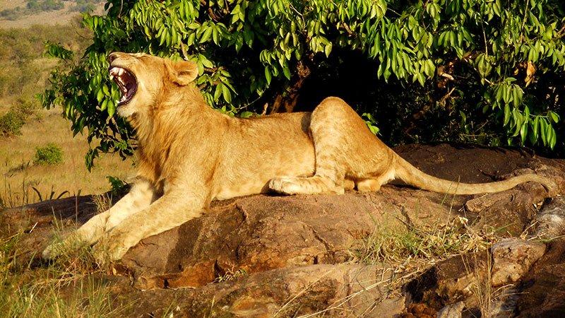 lion-masai-mara-kenya.jpg