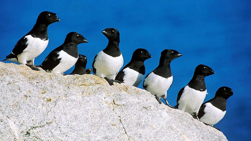little-auk-arctic.jpg