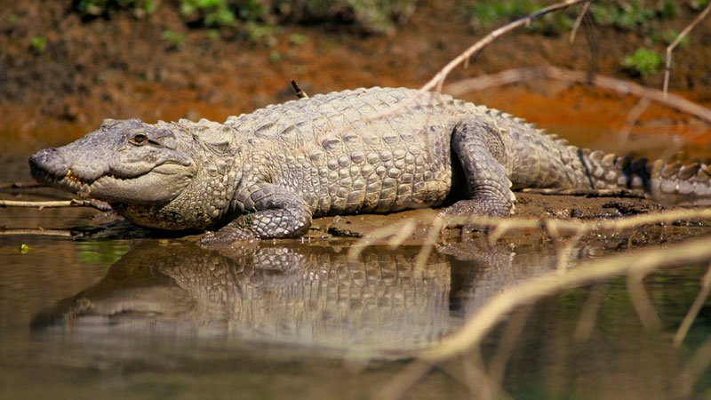 mugger-crocodile-chitwan-nepal.jpg