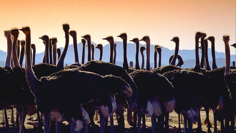 ostrich-farm-south-africa.jpg