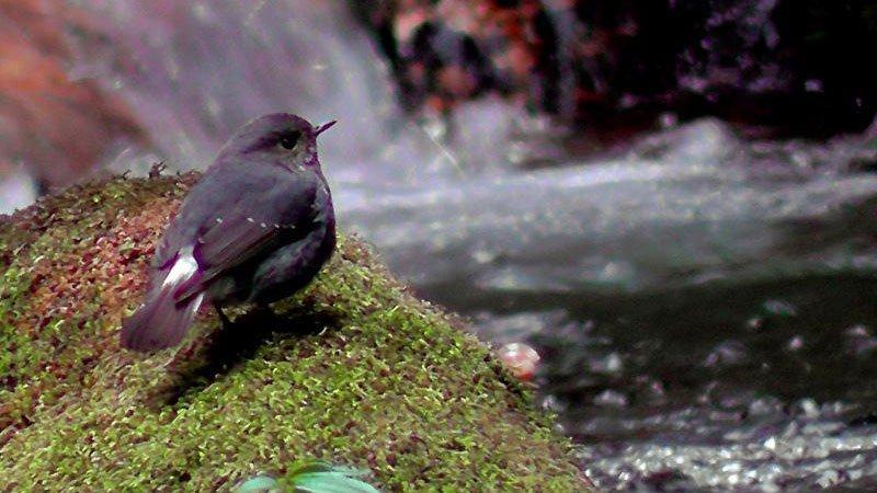 plumbeous-water-redstart-bhutan.jpg