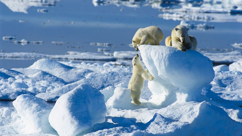 polar-bear-family-arctic.jpg