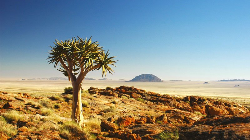 quiver-tree-kokerboom-namibia.jpg