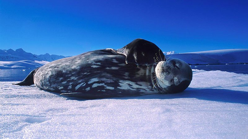 weddell-seal-antarctic.jpg