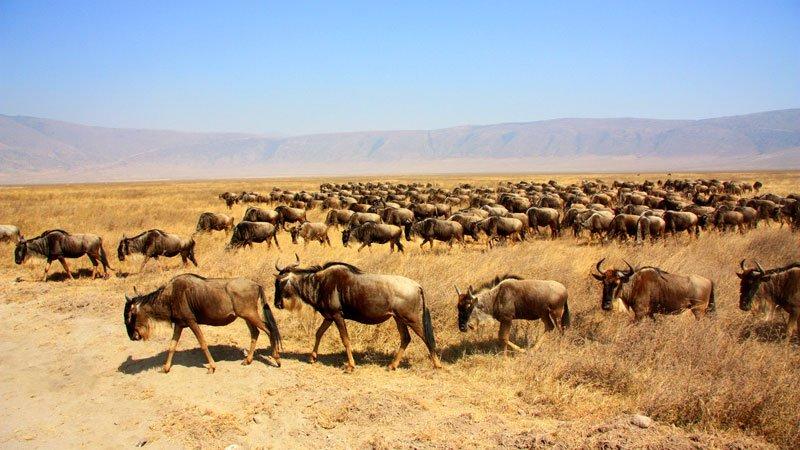 wildebeest-ngorongoro-crater-tanzania.jpg