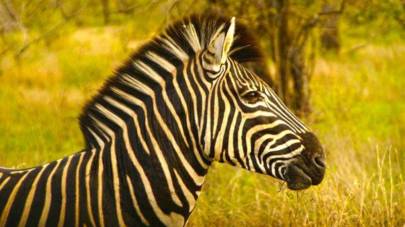 zebra-hwange-zimbabwe.jpg